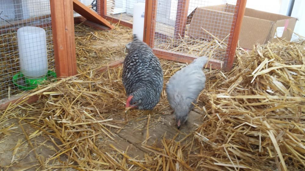 a chicken chick
